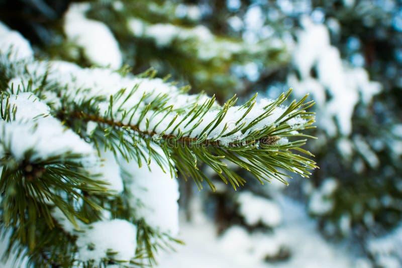 Zimy jedlinowy drzewo zdjęcie stock