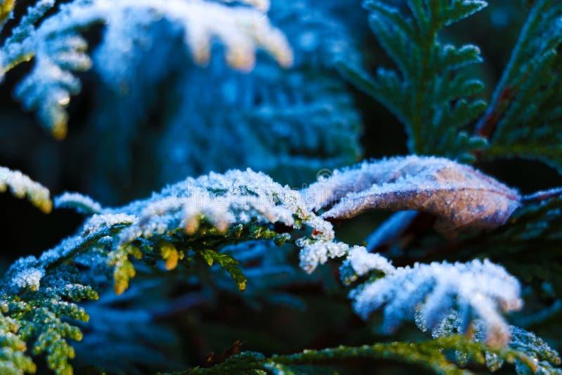 Zimy magiczna natura Wysuszona zielarska roślina zakrywająca z złotymi lodowatymi kryształami Tekstura lód i śnieg Styczeń 33c kr obraz stock