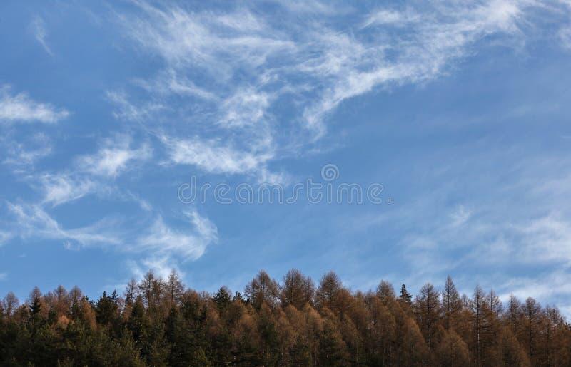 Zimy nieba przestrzeń dla teksta z few chmur pierzastych chmurami nad iglastych drzew wierzchołkami zdjęcia royalty free