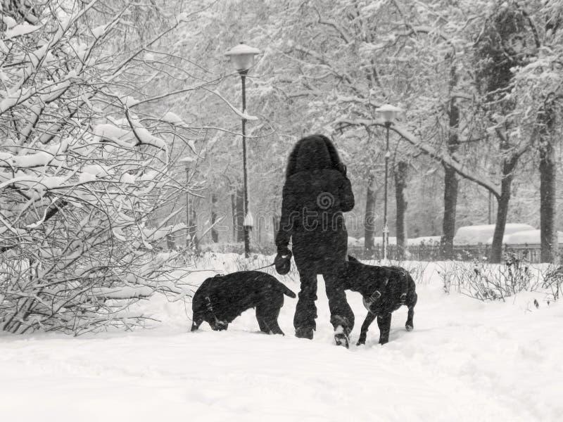 Zimy pogoda, śnieżyca, miasto, kobieta z psami zdjęcie royalty free