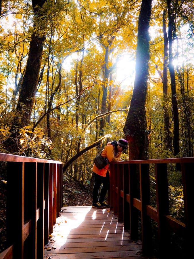Zimy samotność: Złoty dedciduous las Chiang Mai, Tajlandia zdjęcie stock
