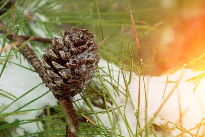 Zimy sosny gałąź zakrywać z śniegiem Zamarznięta gałąź w zima lesie fotografia royalty free