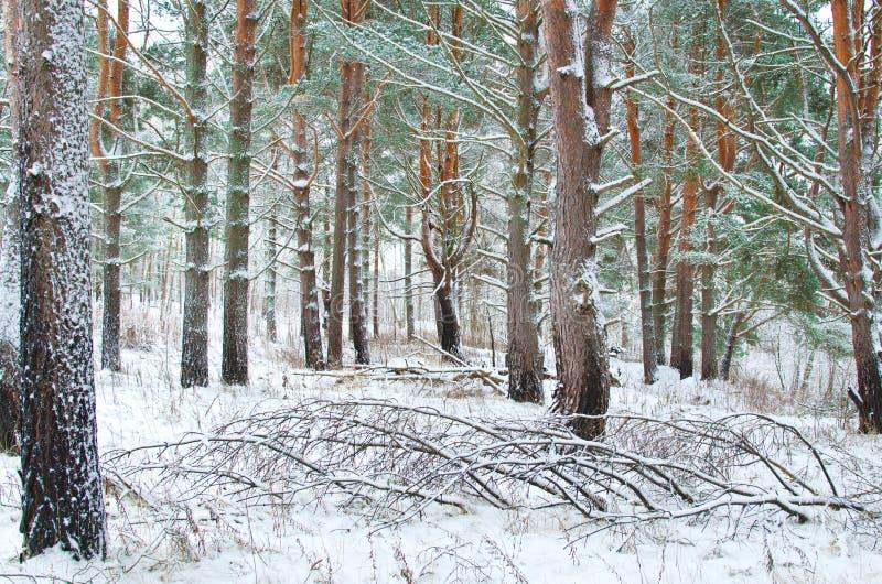Zimy sosny las zdjęcie stock