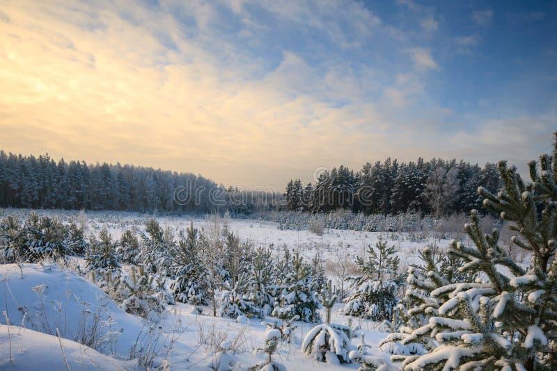 Zimy sosny las zdjęcie royalty free