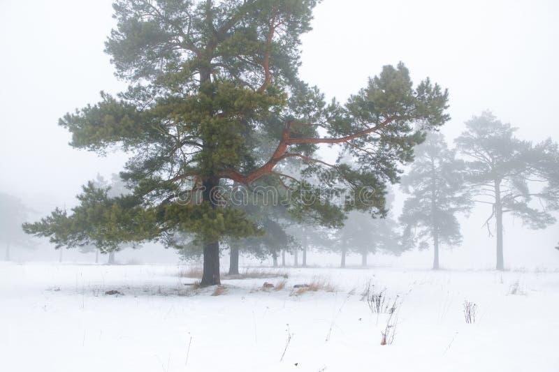 Zimy sosny las w mgle zdjęcie stock
