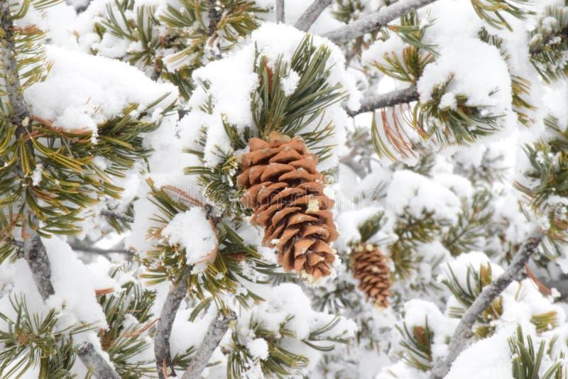 zimy sosny rożki z śniegiem fotografia royalty free