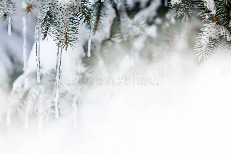 Zimy tło z soplami na jedlinowym drzewie zdjęcie royalty free