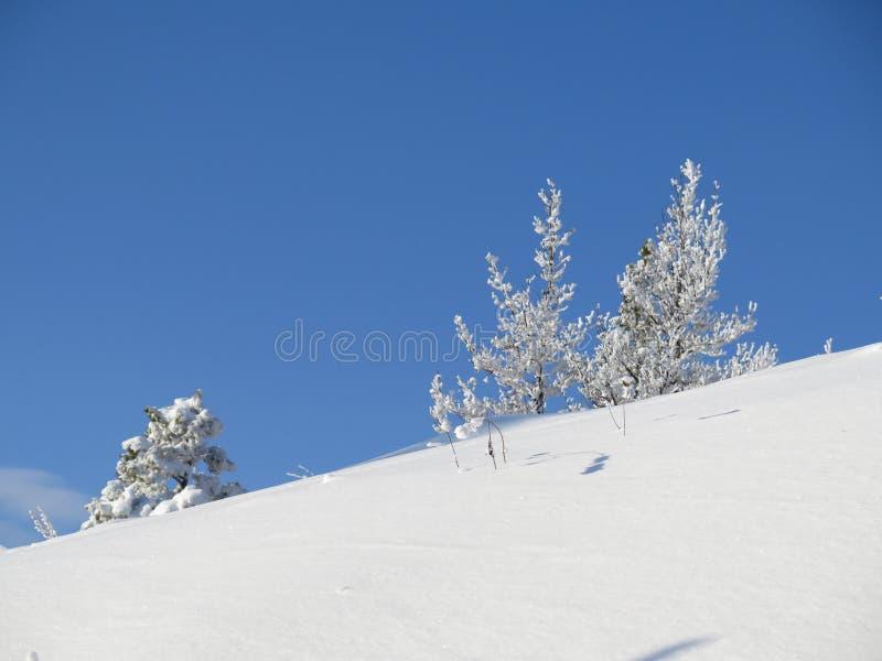 Zimy tundra, śnieżny wzgórze w Ural górach z śnieżystymi jodłami i sosna, kontrastujemy białą i błękitną scenę obraz royalty free