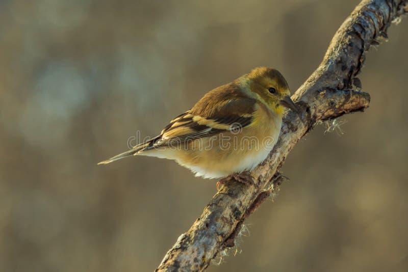 Zimy złota Finch obrazy royalty free