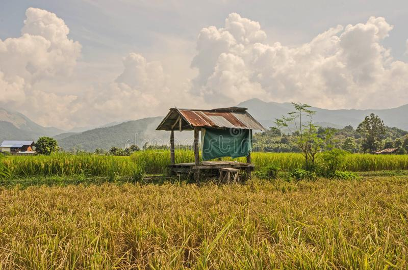 Zinc roof hut with green wall in harvesting season rice field. With mountains and cloudy sky background stock images