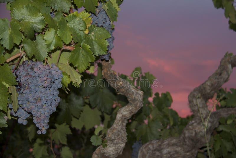 Zinfandel Druiven royalty-vrije stock afbeeldingen
