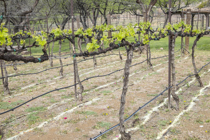 Zinfandel Wijnstokken en Irrigatielijnen stock afbeelding