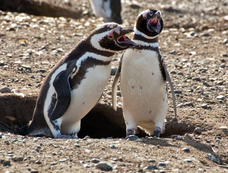 Zingende Pinguïnen stock fotografie