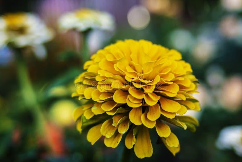 Zinnia κίτρινη στον κήπο στοκ εικόνες με δικαίωμα ελεύθερης χρήσης