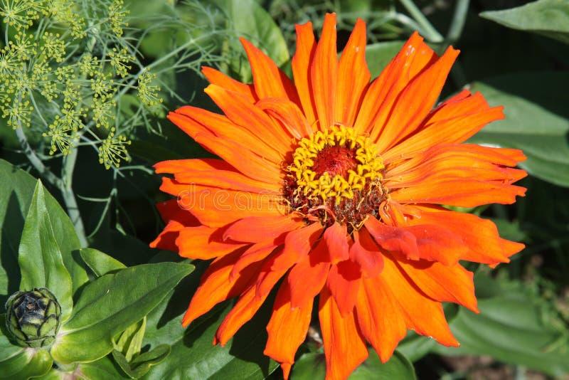 zinnia померанца цветка стоковое изображение rf