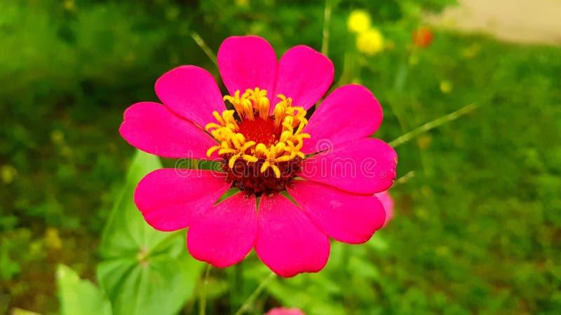 Zinnia, цветки, цветки Zinnia стоковое изображение rf