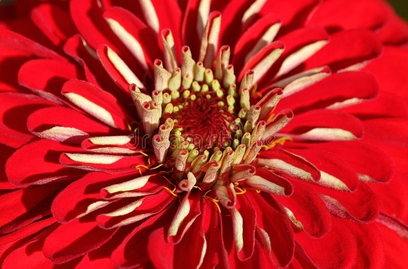 Download Zinnia stock photo. Image of asteraceae, round, bright - 10656182