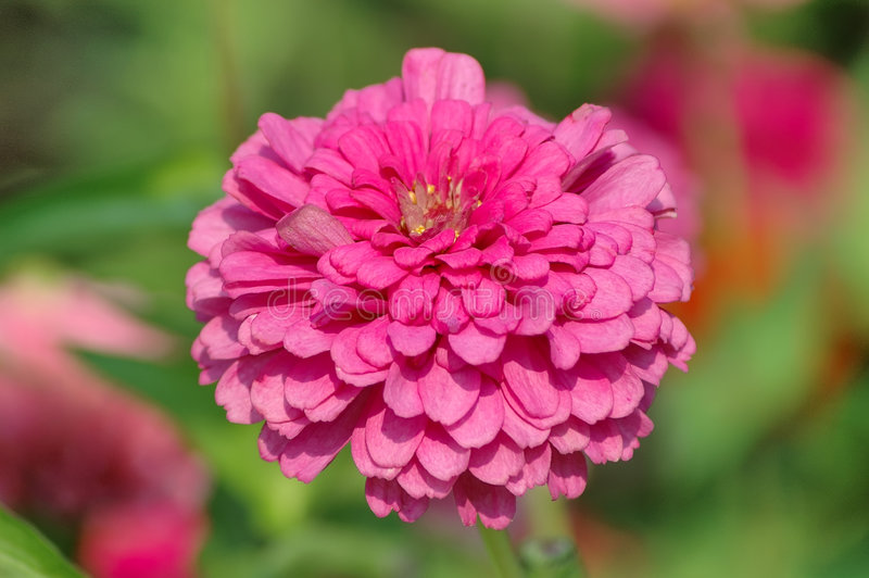 Download Zinnia stock image. Image of floral, isolated, stem, fleur - 199585