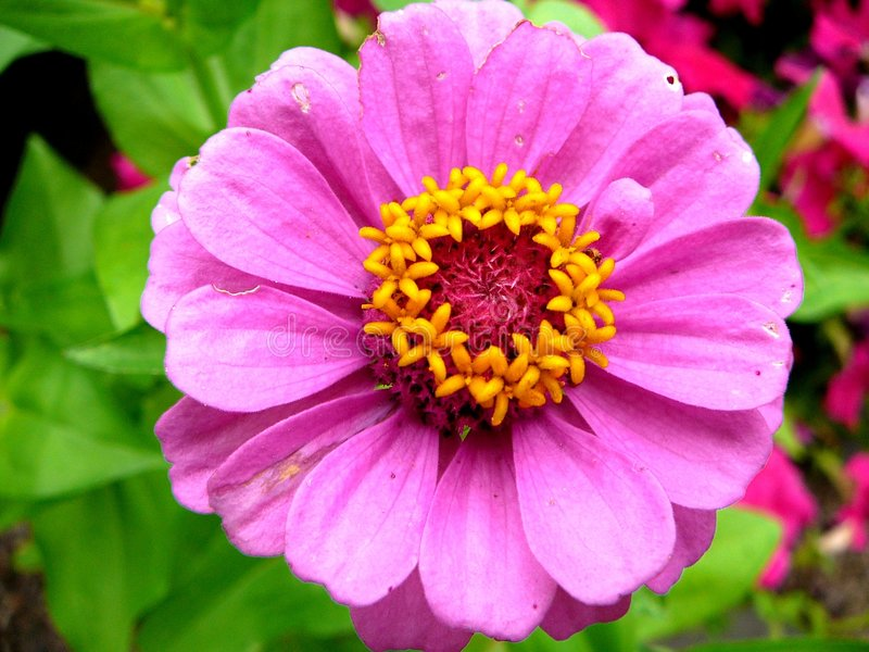 Download Zinnia -3 Stock Images - Image: 977844