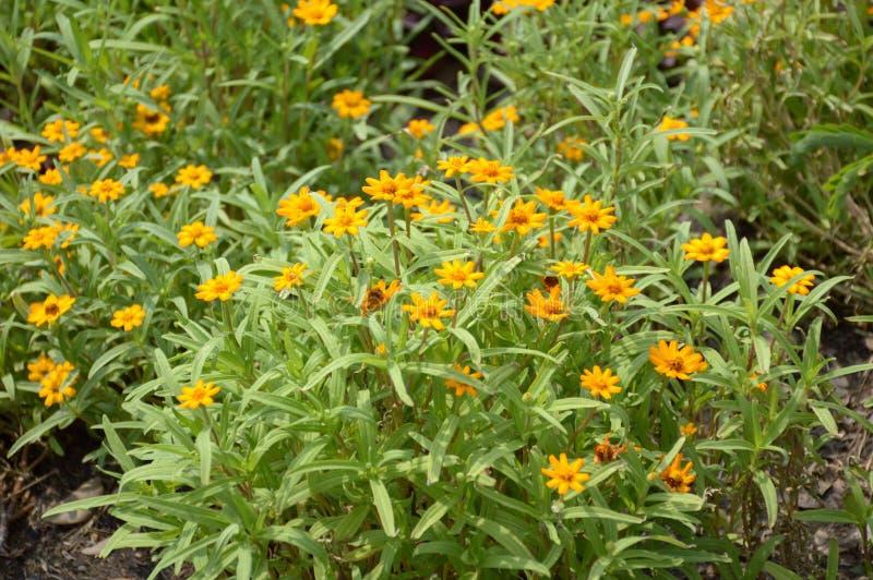 Zinnia angustifolia flower stock photo