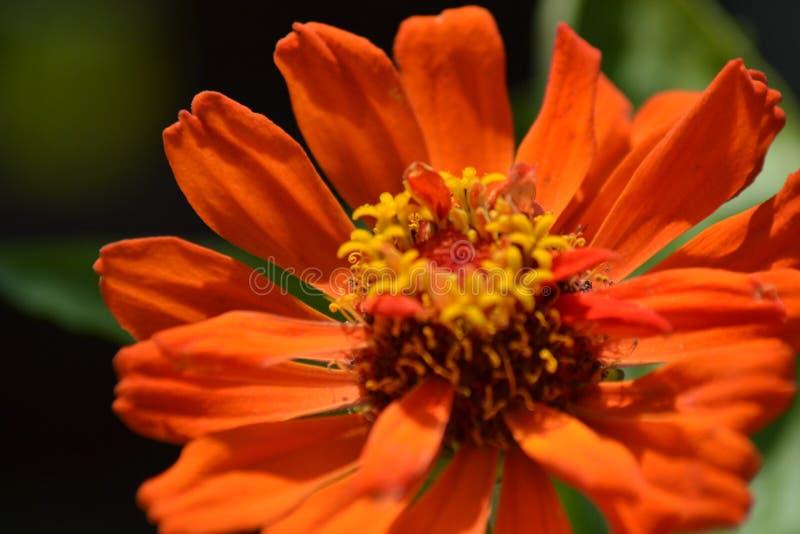 Zinnia, arancione del fiore fotografía de archivo