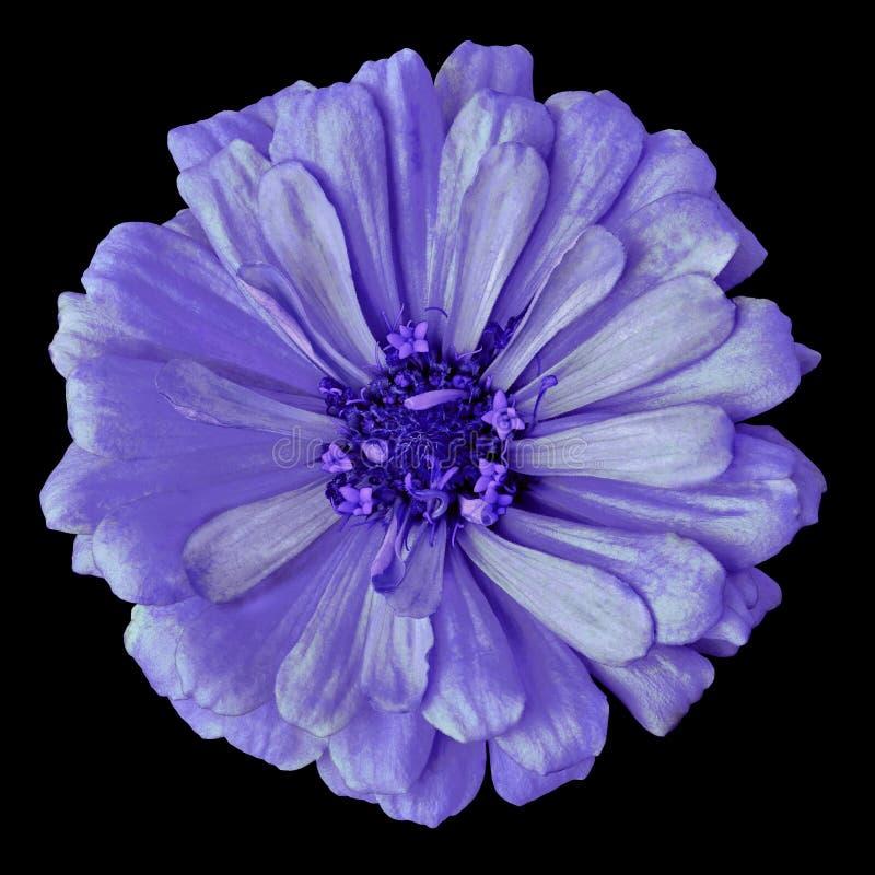 Zinnia azul lilás da flor isolado em um fundo preto Close-up imagem de stock royalty free