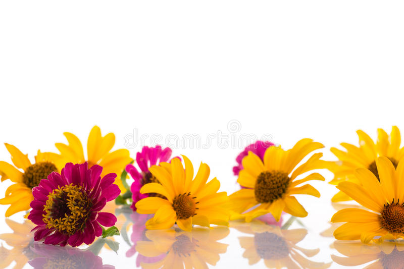 Download Zinnia stock photo. Image of inflorescence, fresh, close - 32889400