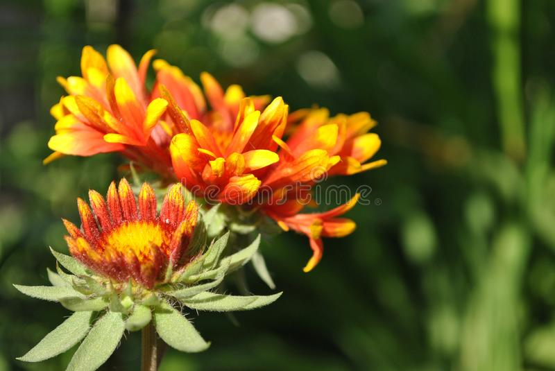 Zinnia bicolor couple flowers blooming stock photography