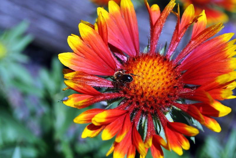 Zinnia bicolor flower blooming and wild bee pollen it, close up macro detail top view, green soft background royalty free stock images