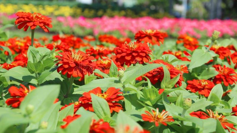 Zinnia-Blume lizenzfreies stockfoto