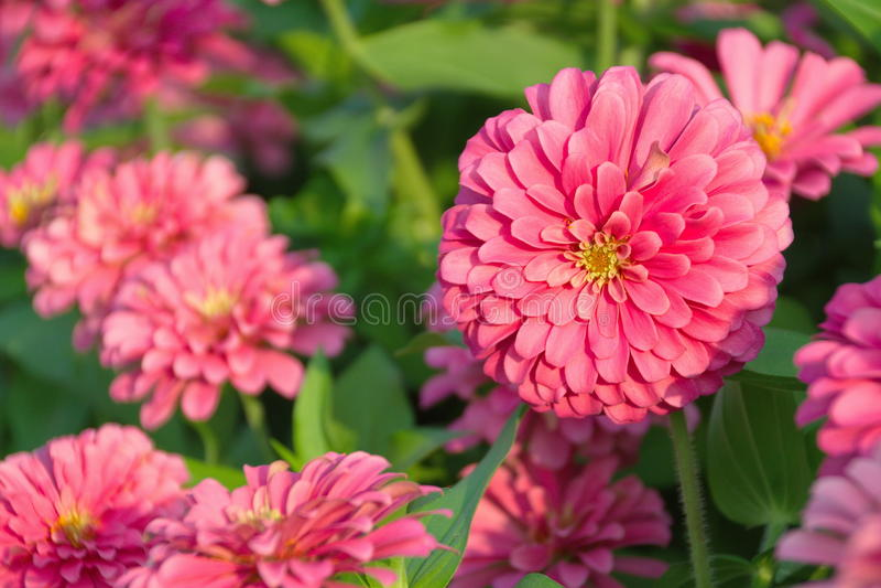 Zinnia-Blume lizenzfreie stockbilder
