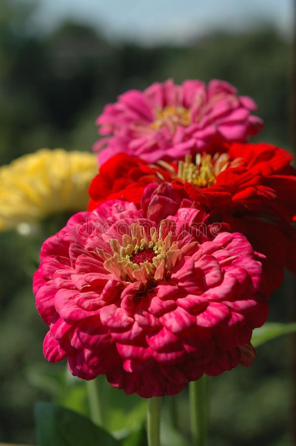 Zinnia bouquet of different colors closeup royalty free stock photography