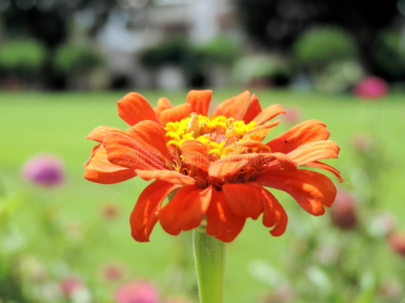 Zinnia commun photo stock