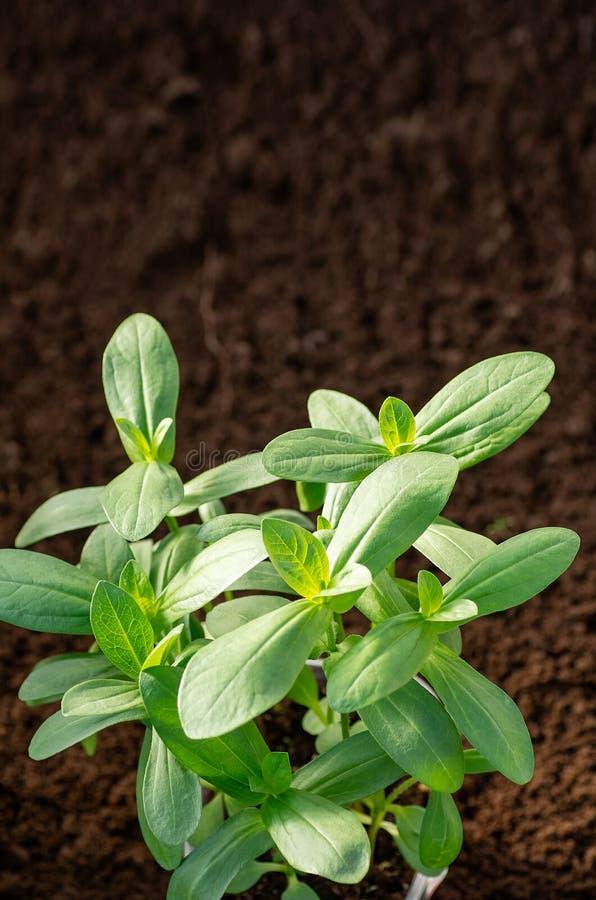 Zinnia creciente de la semilla en el jardín y en el invernadero Lanzamientos jovenes del zinnia fotos de archivo