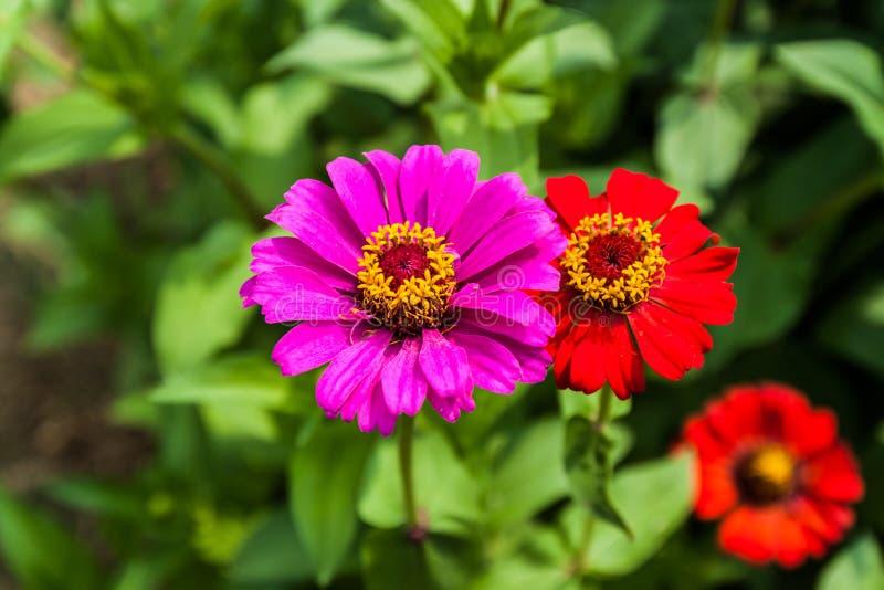 zinnia de fleur de couleur lilas image stock image du beaut d cor 32536127. Black Bedroom Furniture Sets. Home Design Ideas