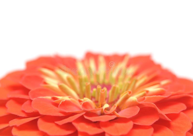 Download Zinnia elegans stock photo. Image of botany, floral, plant - 20674576
