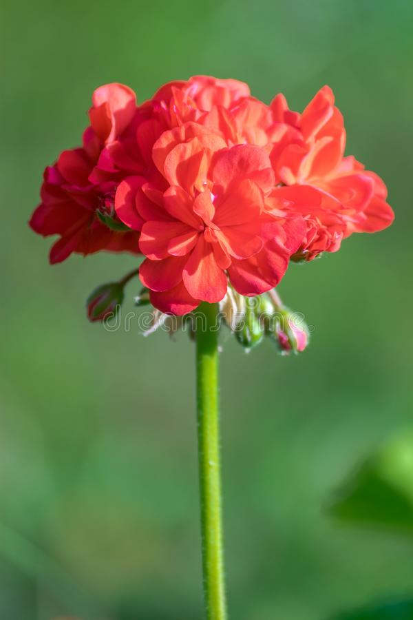 Zinnia Elegans flower, isolated, single rose royalty free stock photo