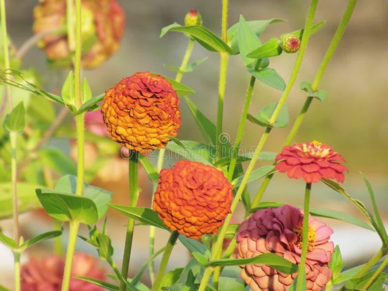 Zinnia elegans blüht, die bunten Blumen, die im Sommer Gard blühen lizenzfreie stockfotografie