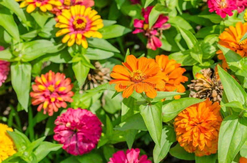 Zinnia Elegans-Blumen stockfotografie