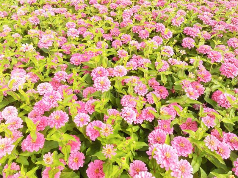 Zinnia Elegans-Blumen lizenzfreies stockbild