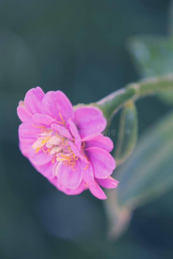 Zinnia elegans Blumenmakro stockfotografie