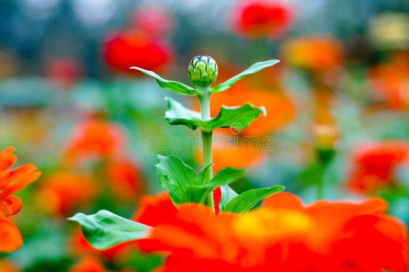 Zinnia elegans Jacq flowers royalty free stock images
