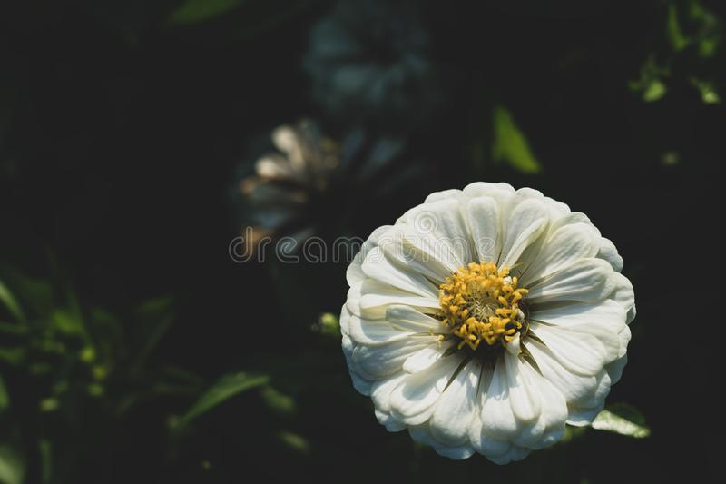 Zinnia elegans, known as youth-and-age, common zinnia or elegant zinnia, an annual flowering plant of the genus Zinnia, is one of. The best known zinnias royalty free stock image