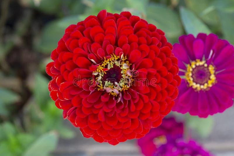 Zinnia elegans oder Draufsicht riesiger roter Blume Zinnia Benarys lizenzfreie stockbilder