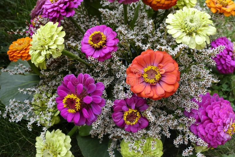 Zinnia elegans, Sommerblumen lizenzfreies stockbild