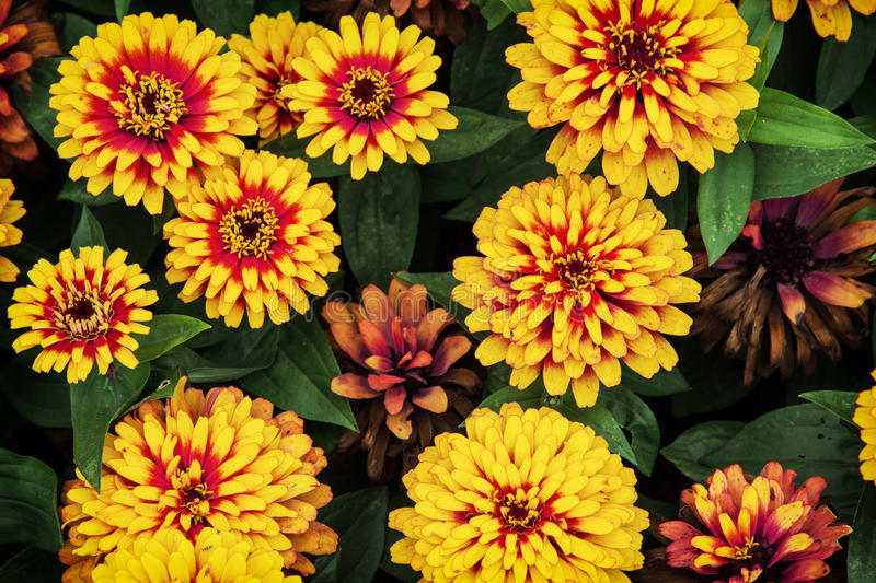 Zinnia elegans (Zinnia swizzle scarlet yellow) royalty free stock images
