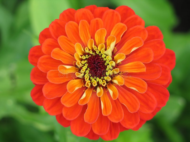 Zinnia flower stock photography