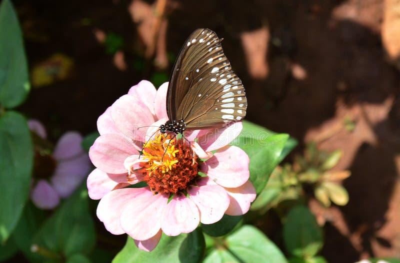 Download Zinnia flower4 стоковое изображение. изображение насчитывающей budgeter - 37929115