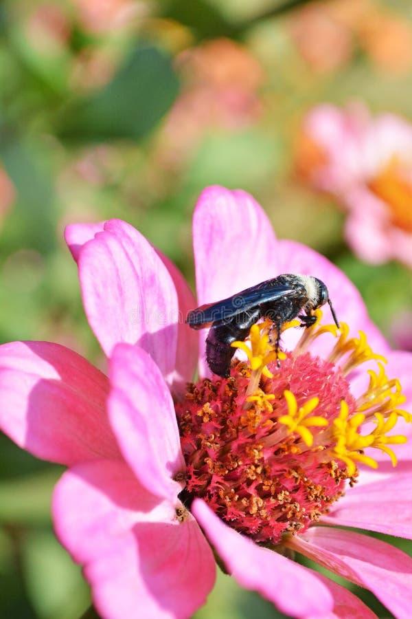 Download Zinnia flower5 стоковое фото. изображение насчитывающей budgeter - 37929308