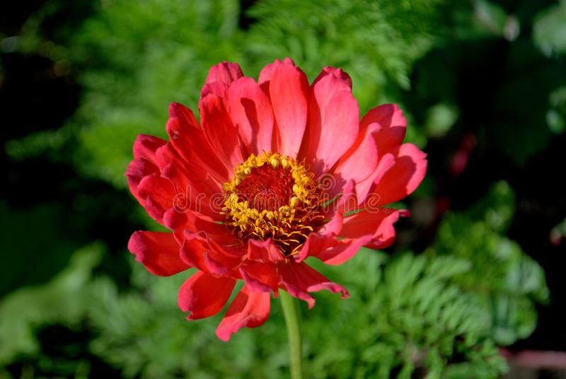 Zinnia flower on a blurred background of foliage. stock photography